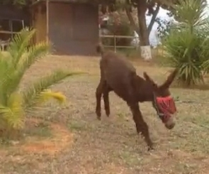 The donkey, called Capitán, is now fighting fit at an animal sanctuary