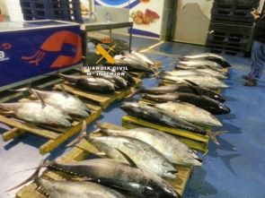 Red tuna illegally caught and sold