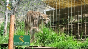 A lynx was among the animals seized by the Guardia Civil