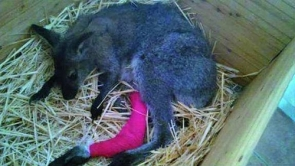 The wallaby suffered a broken leg in the attack (Photo: Change.org)