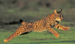 Over 5% of the entire lynx population has been killed by vehicles just this year