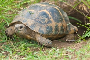 Spur-thighed tortoises must be handed in to the authorities