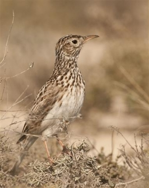 The Dupont lark is in danger of dying out