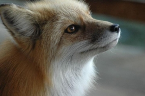A woodland fox found poisoned has sparked a year-long hunting ban