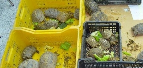 Tortoises collected in Turre last month