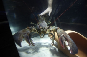'Pinzas' the giant lobster is now part of Sea-Life's new crustacean exhibit