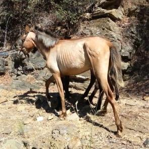 Around 30 horses were found seriously undernourished