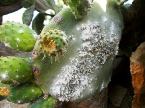 A chumba cactus infested with cochinilla del carmin beetle